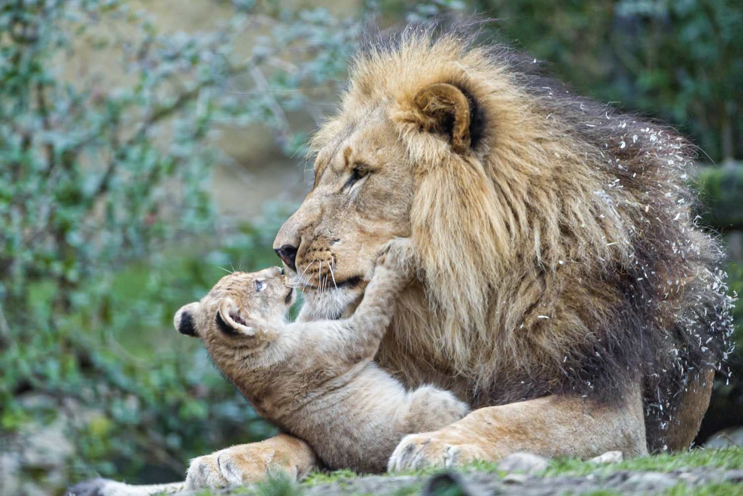This African lion cub is snuggling with his father. Female lions typically rear their young without much participation from the male.
