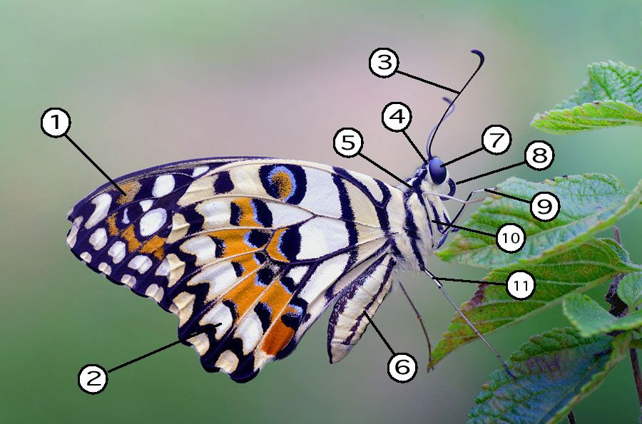 Parts of a butterfly.