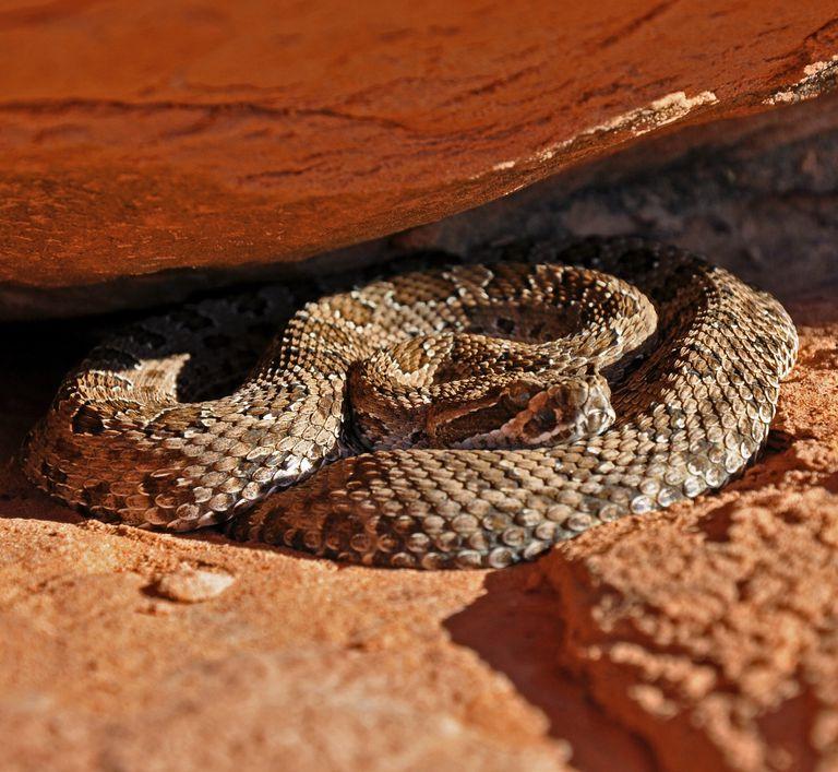 Rattlesnakes like dry hot places like the Utah desert.