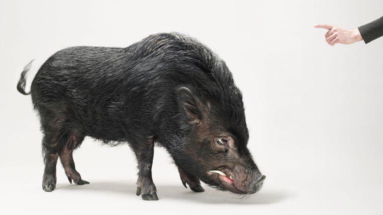 Person Scolding Wild Boar (Sus scrofa)