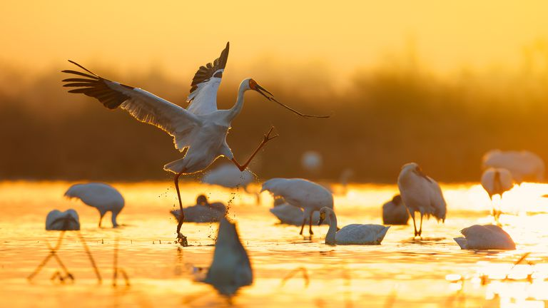 Siberian Cranes In Lake During Sunset