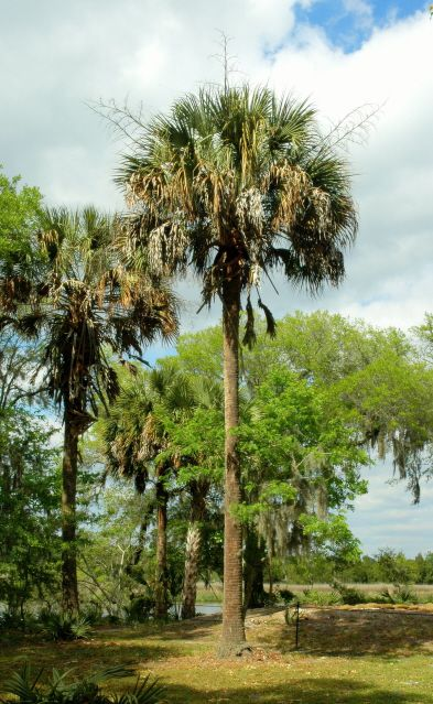 Drayton Hall Sabal Palm