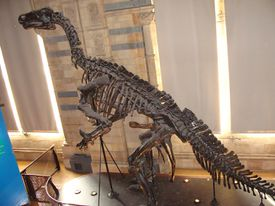 Iguanodon skeleton in profile at a museum.