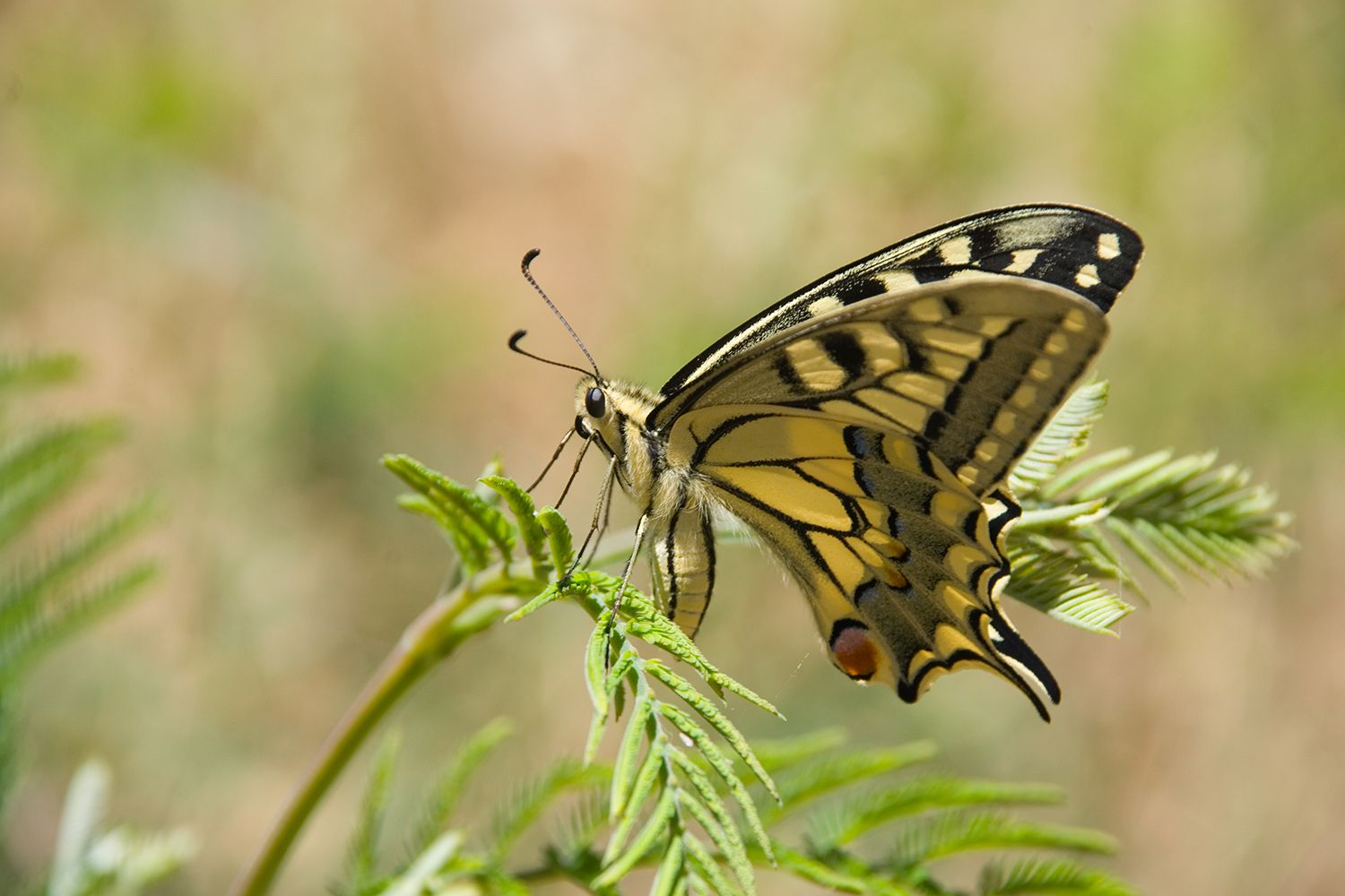 Close up of a Machaonas (Papilio Machaon) Swallowtail Butterfly on a plant