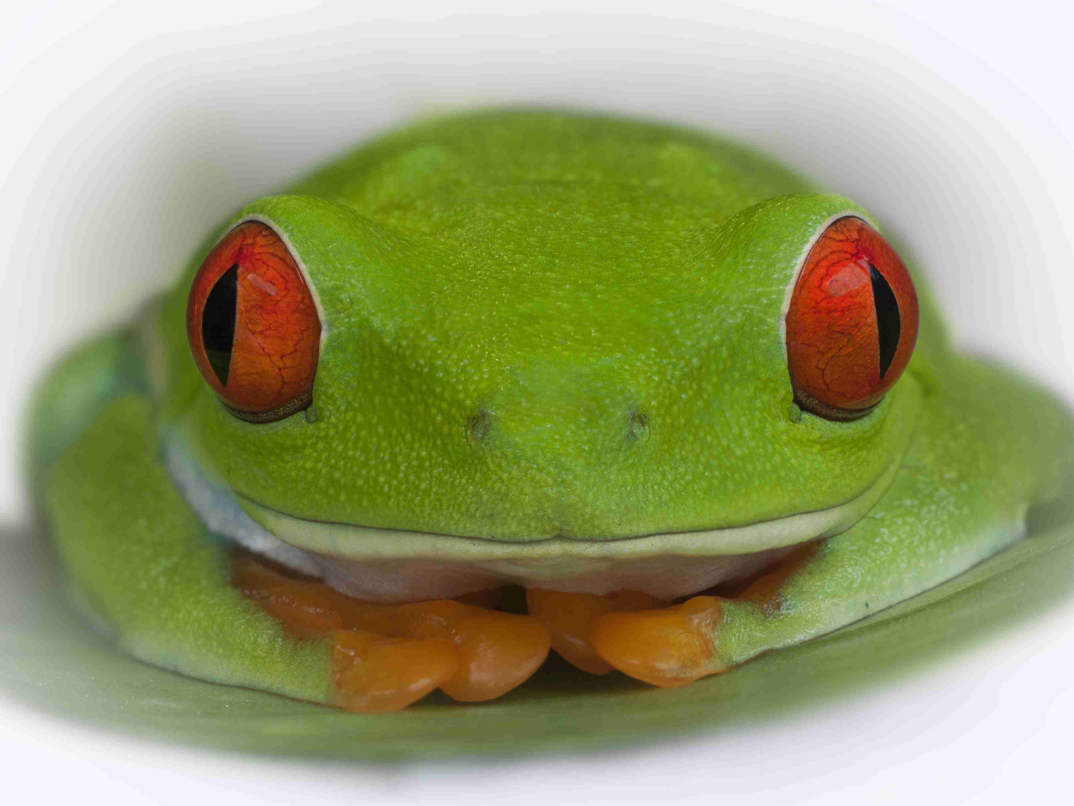 During the day, the frog folds its colored legs beneath it. If disturbed, it opens its eyes to startle predators.