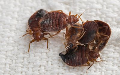10 Myths and Misconceptions About Bedbugs