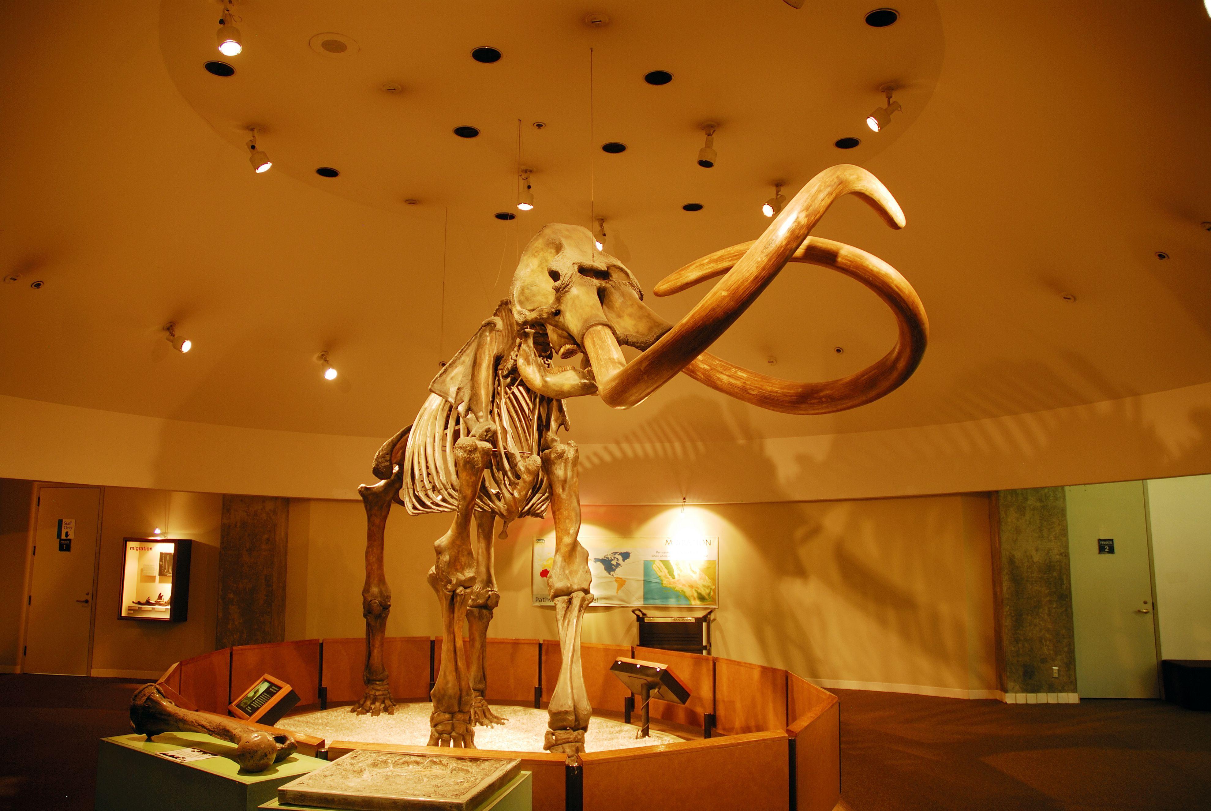 Mastodon skeleton, George C Page Museum at La Brea Tar Pits.