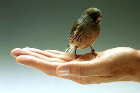 A bird (sparrow) in the hand is worth two in the bush translates to un chien vivant vaut mieux qu'un lion mort
