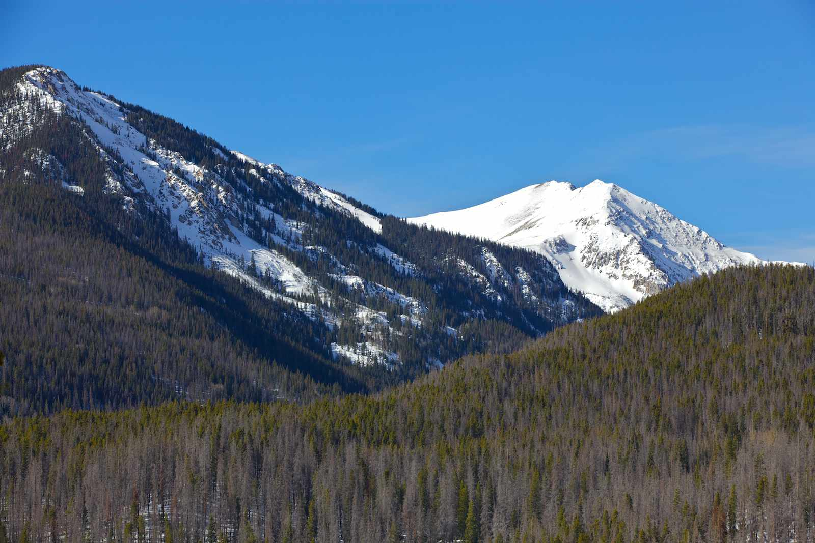 damage to pine trees in Rocky Mountain National Park caused by the mountain pine beetle