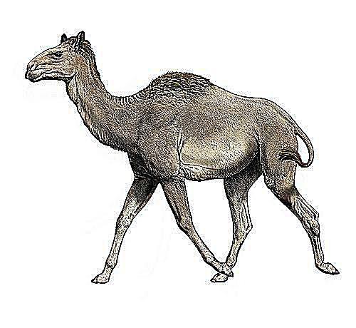 Titanotylopus