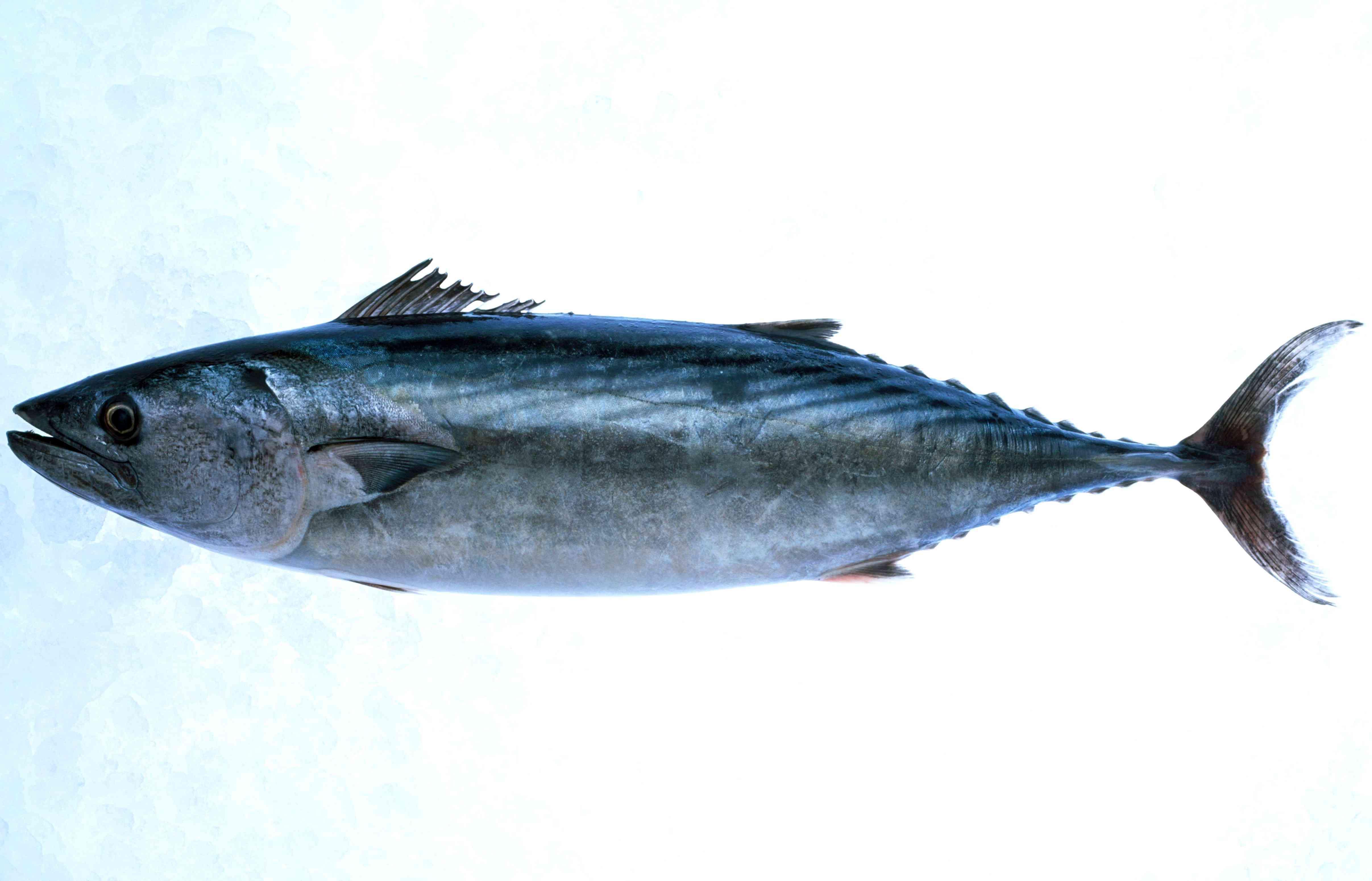 An Atlantic bonito (Sarda sarda) specimen on ice