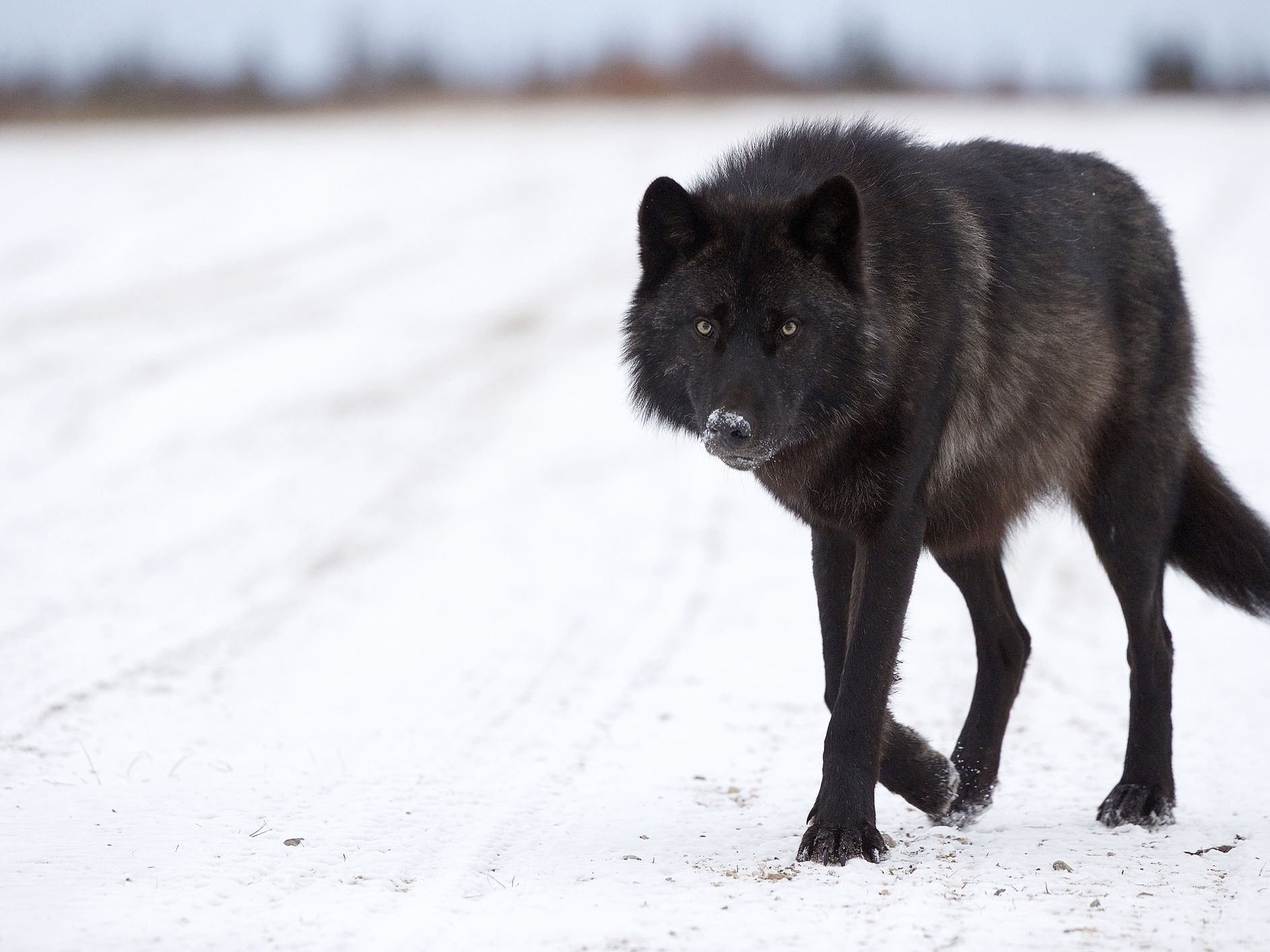 Image result for black wolf dog