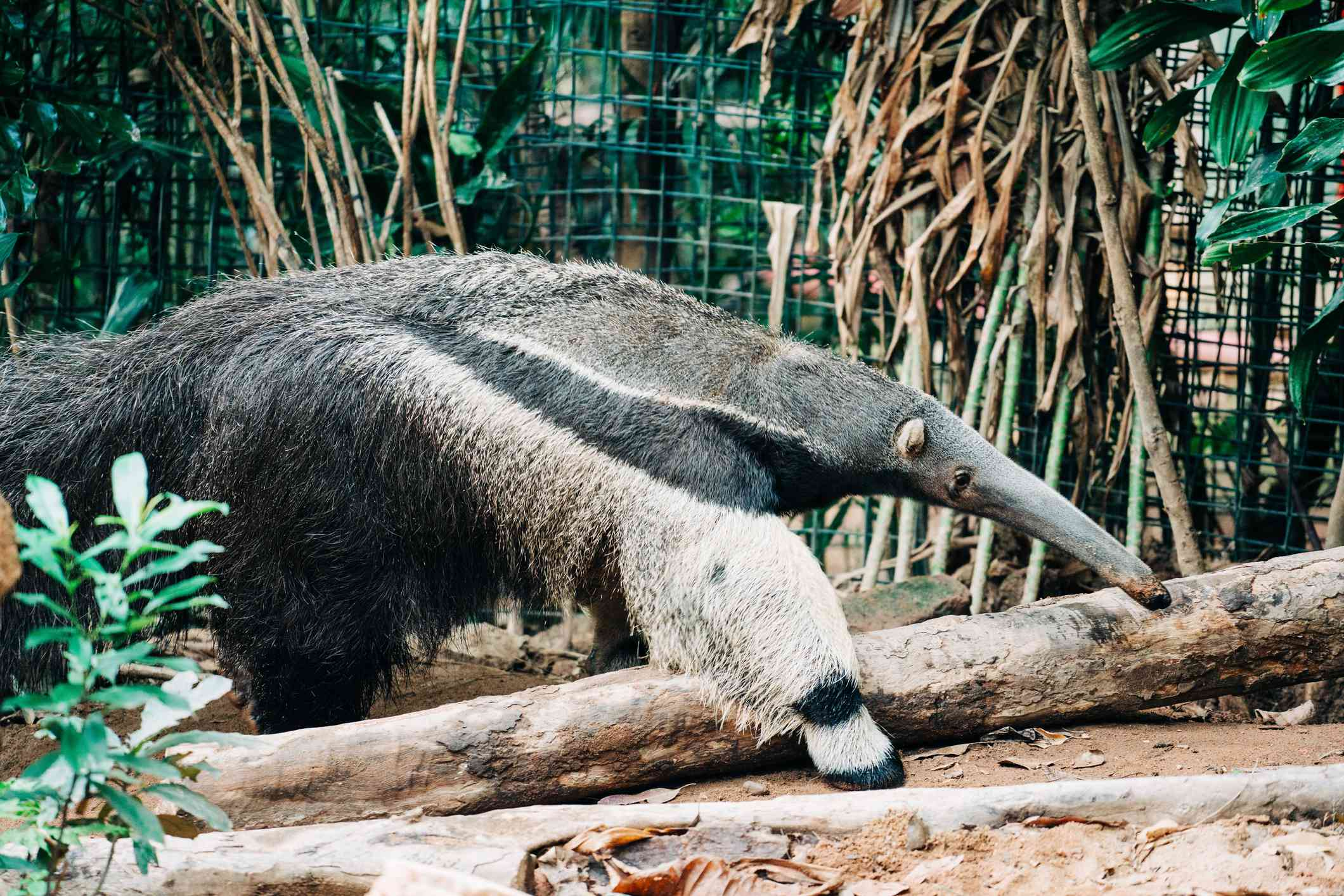 An Anteater in a zoo