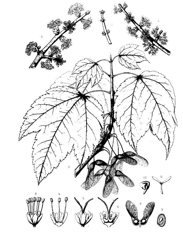 Common Trees Of The Eastern United States