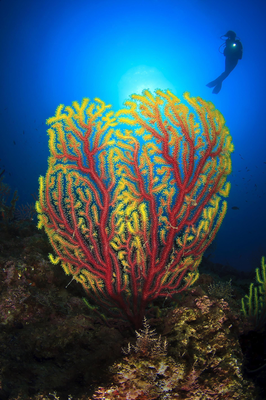 Colorful gorgonian