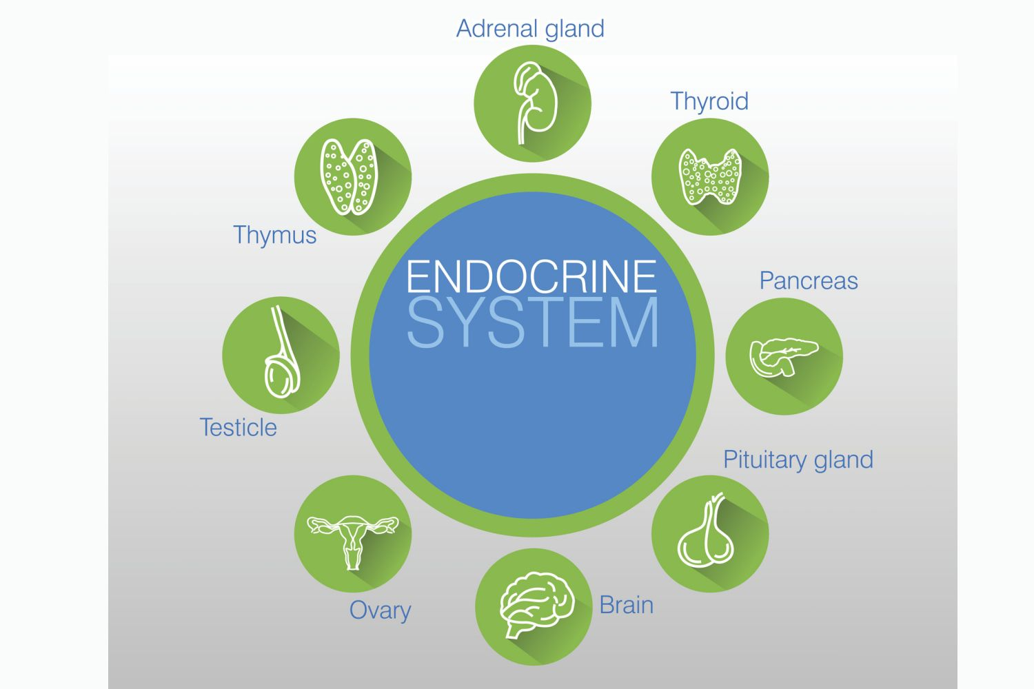 Glands The Endocrine System Chart