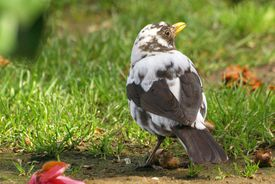 Blackbird With Leucism