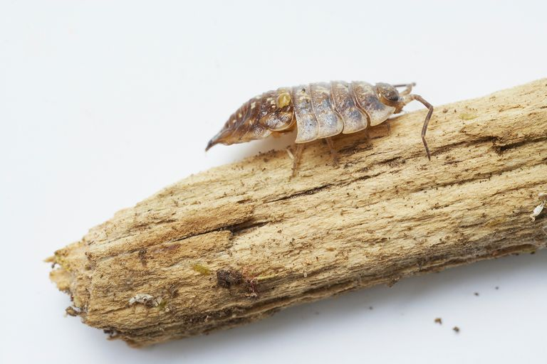 The Molting Process for Insect Growth
