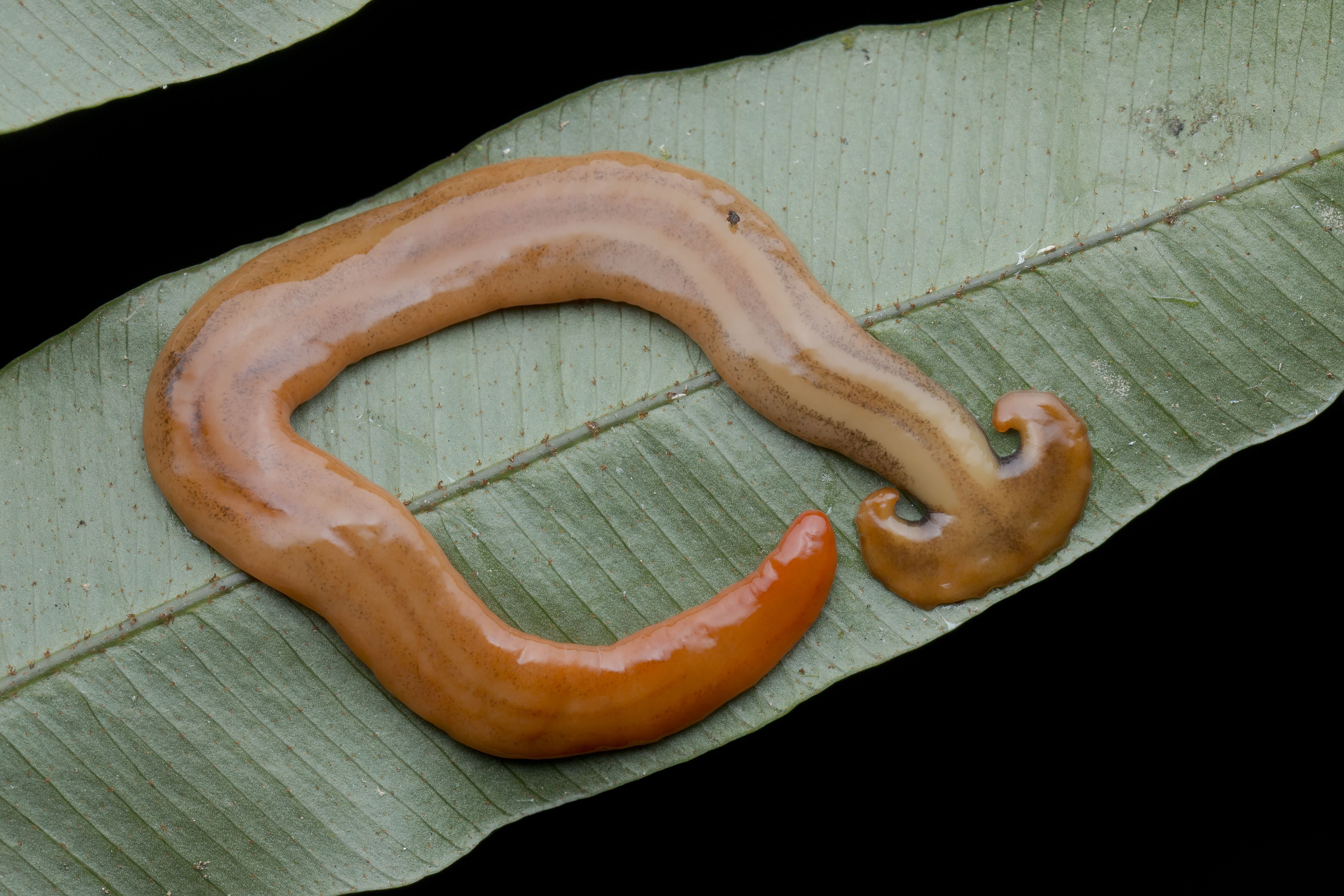 The hammerhead worm has a long, flattened body and a broad head.