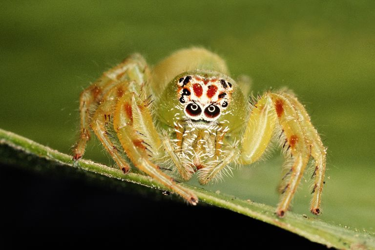 Jumping spider on leaf