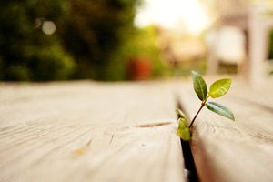 A plant growing through a wooden deck.