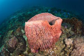 A giant barrel sponge in a coral reef