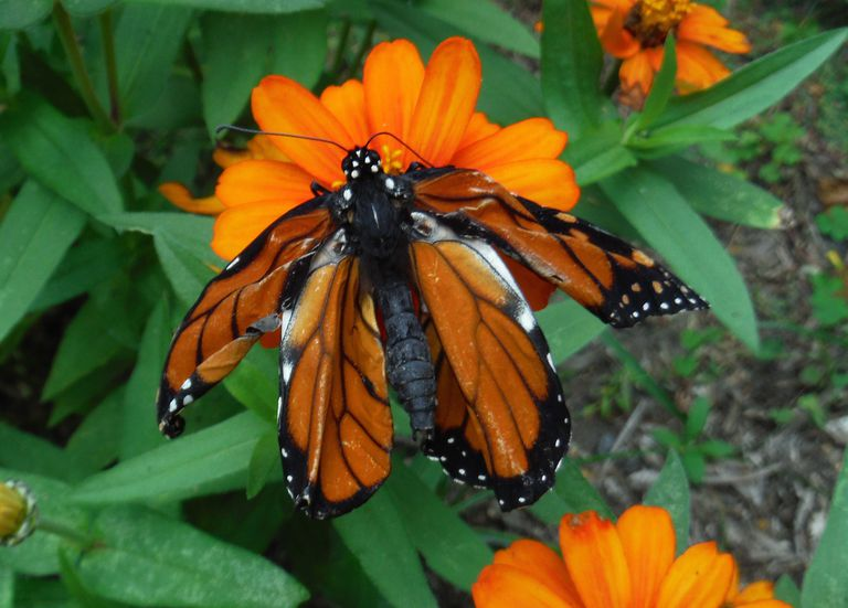 A monarch with deformed wings may be infected with parasites.