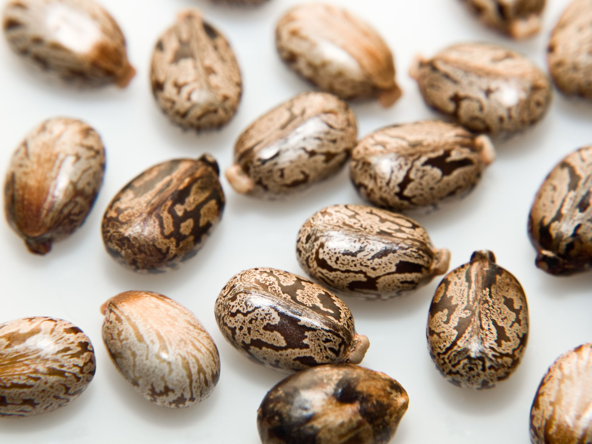 Ricin And Rca Castor Bean Toxin Information