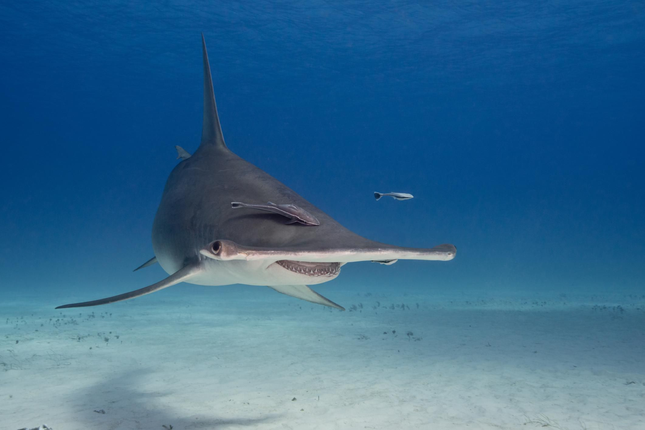 great hammerhead shark pictures - HD2122×1415