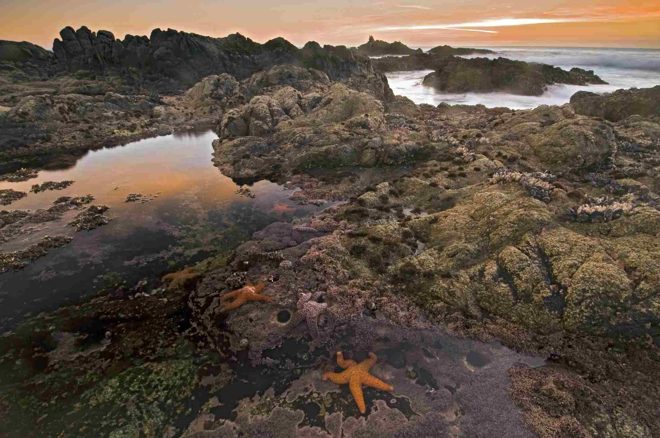 Sea stars in a tide pool on a rocky beach under an orange sunset sky.