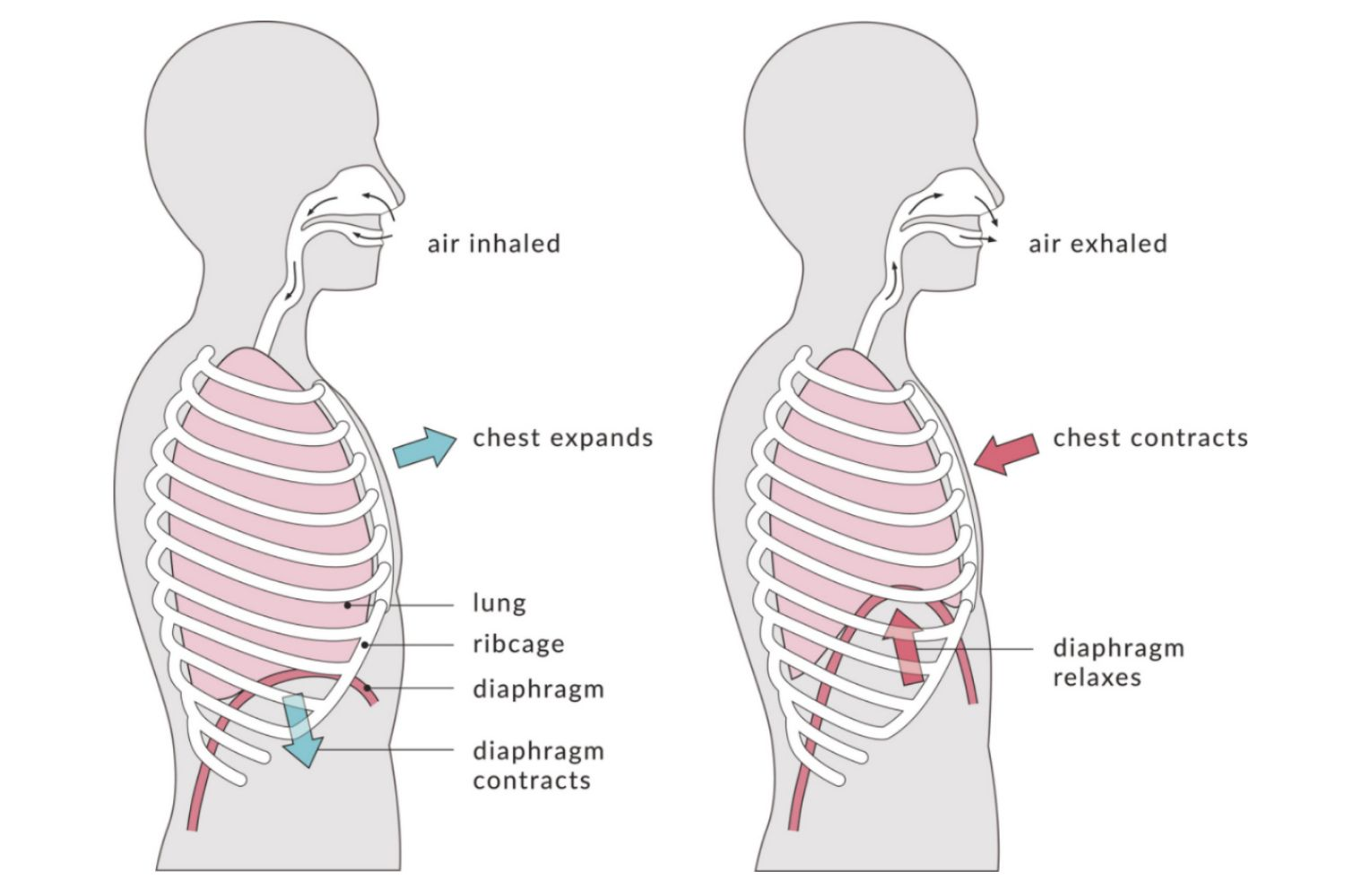 types of respiration: external and internal  breathing diagram