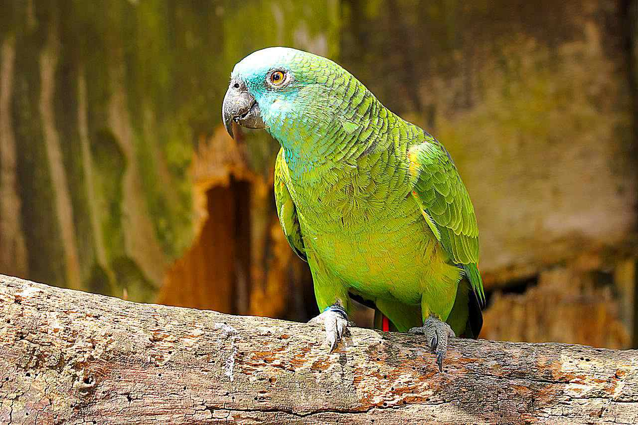 Blue-fronted Amazon parrot standing on a log