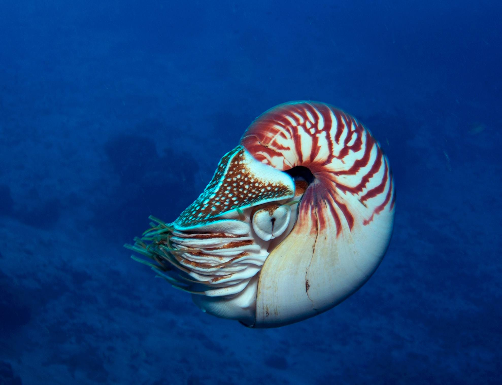 Chambered Nautilus / Stephen Frink / Image Source / Getty Images
