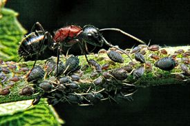Ants tending and protecting aphids in their mutualistic relationship