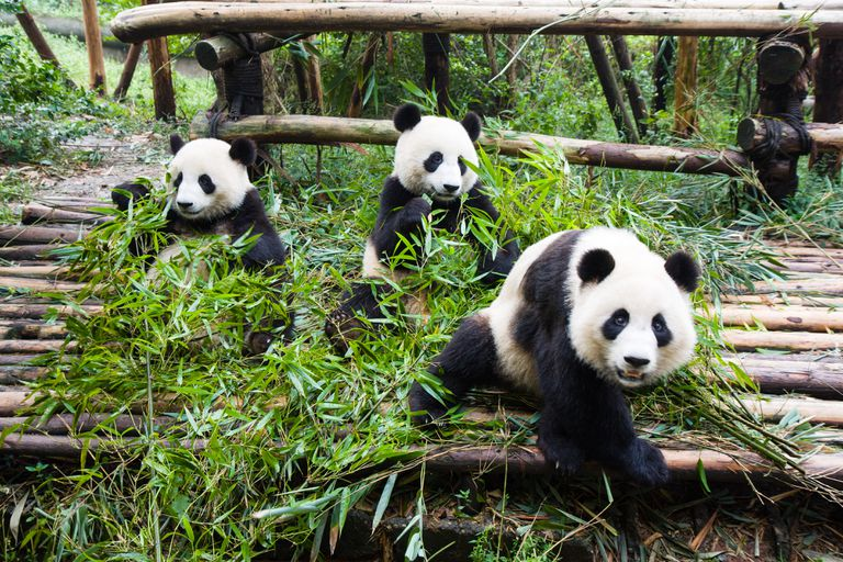 Young pandas eating bamboo in zoo