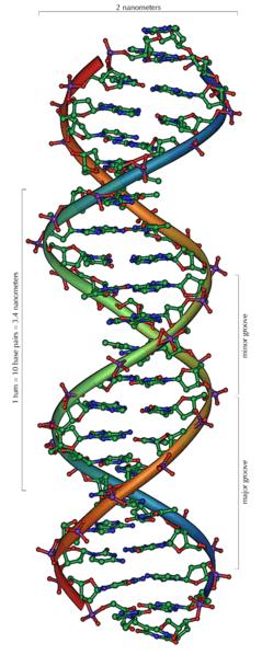 DNA or deoxyribonucleic acid