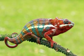 An extremely colorful chameleon in Indonesia
