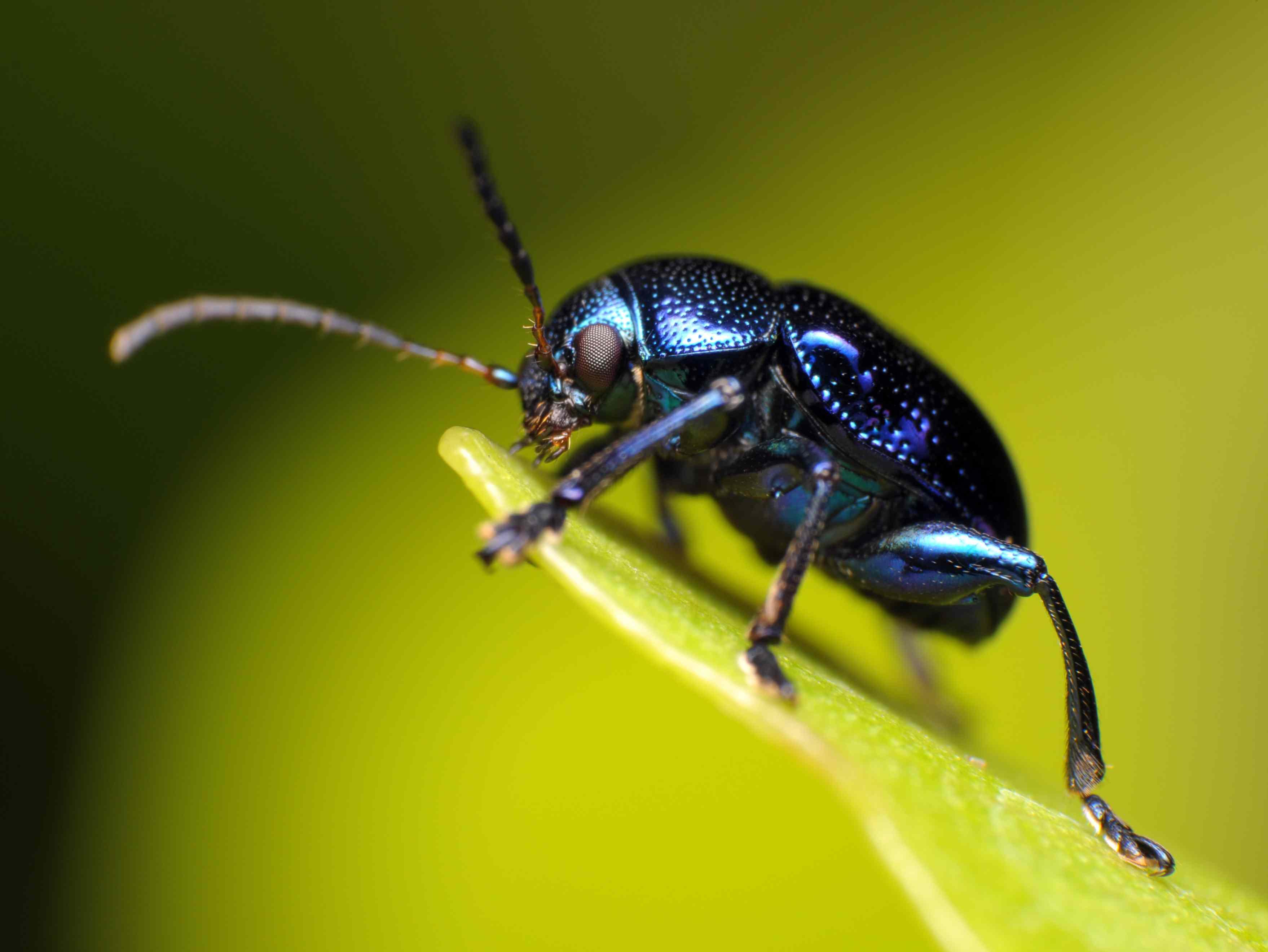 Blue milkweed beetle.