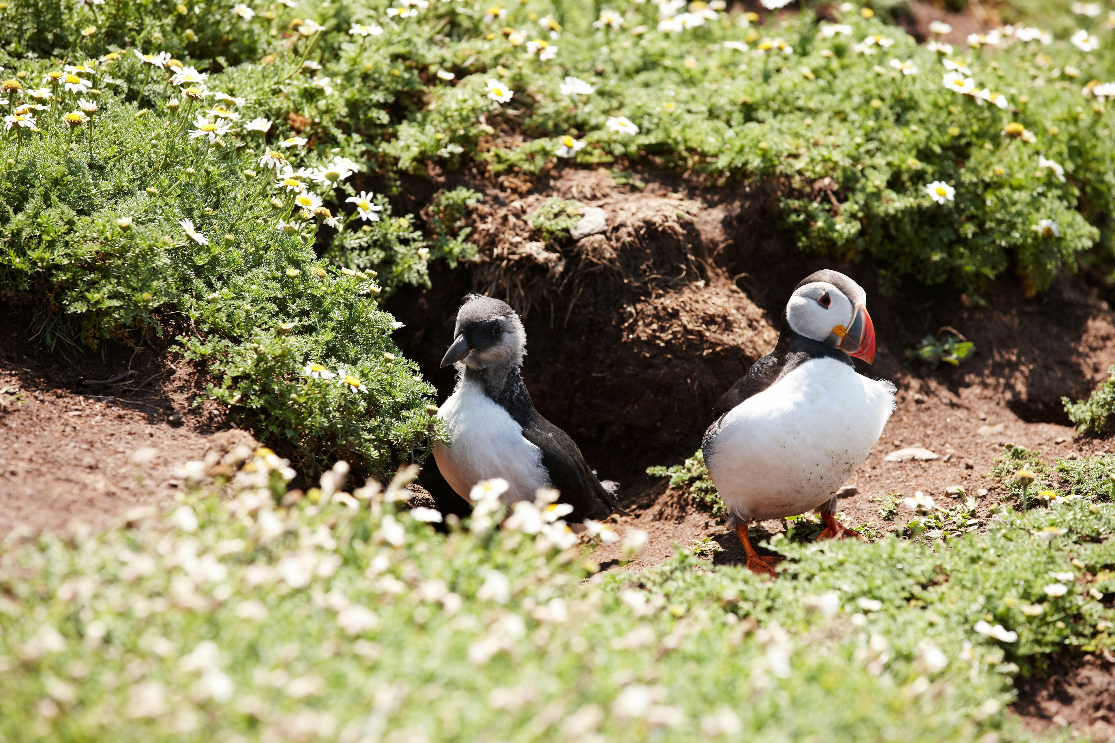 Young immature puffin outside burrow with adult parent.