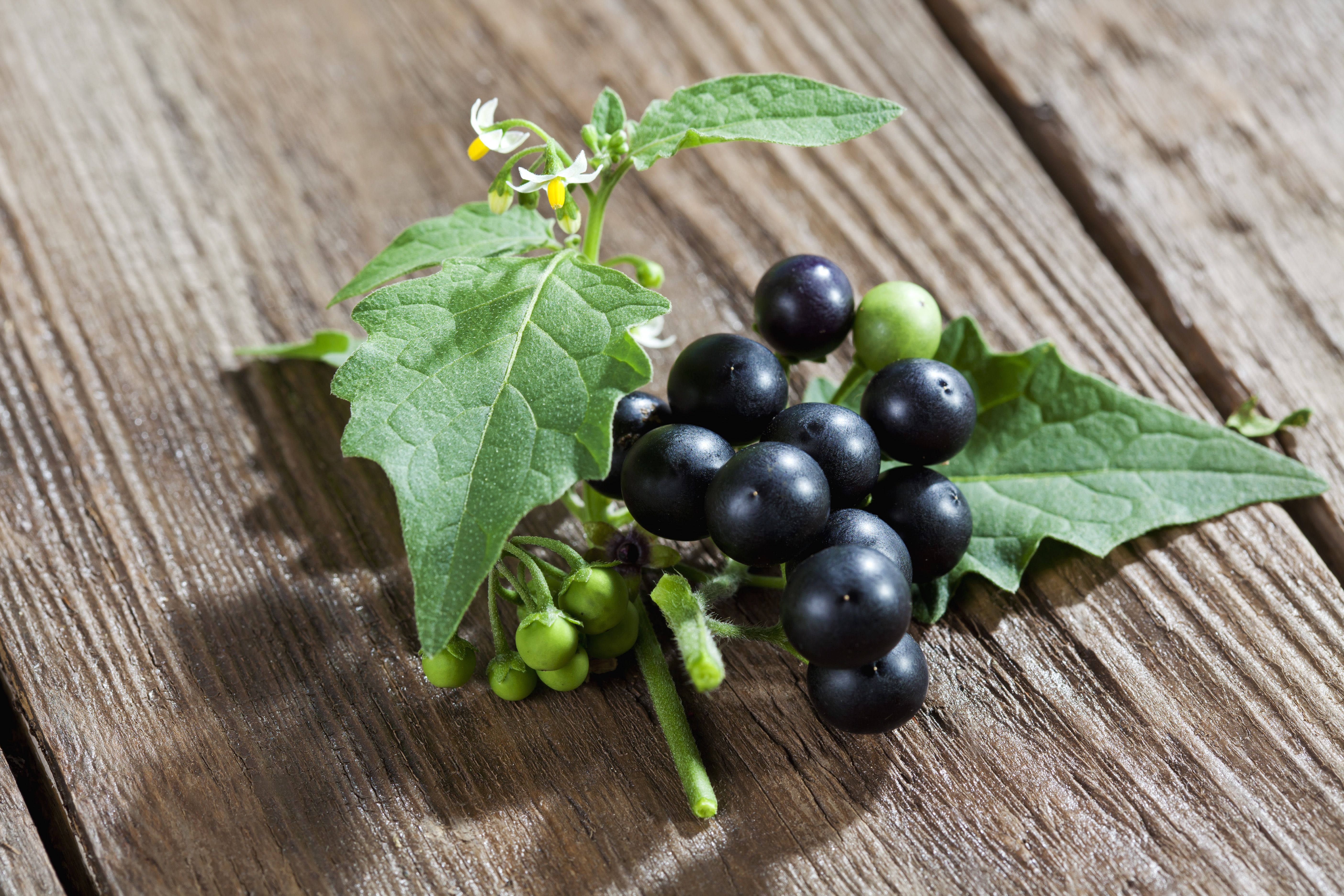 "Black nightshade, Solanum nigrum, is one form of ""deadly nightshade""."