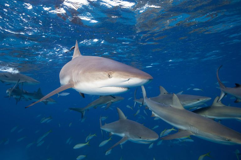 10 interesting facts about sharks caribbean reef sharks carcharhinus perezi altavistaventures Gallery