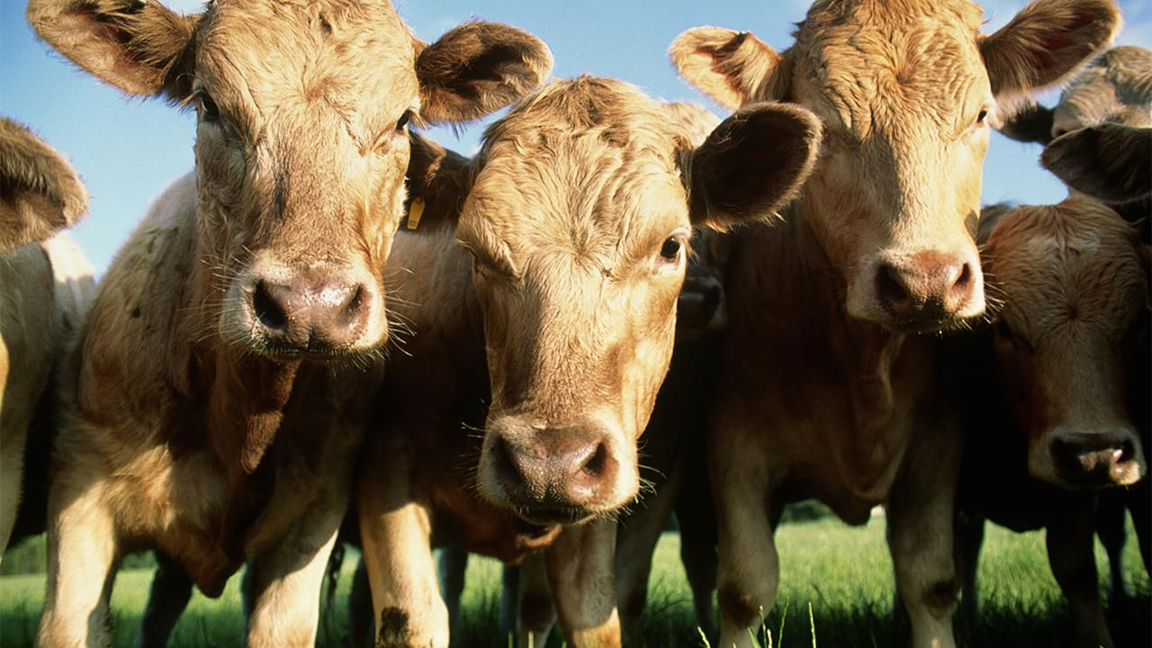 What Are Feedlot, Organic and Grass-Fed Beef?