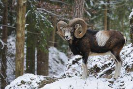 European Mouflon on a rock in the snow.