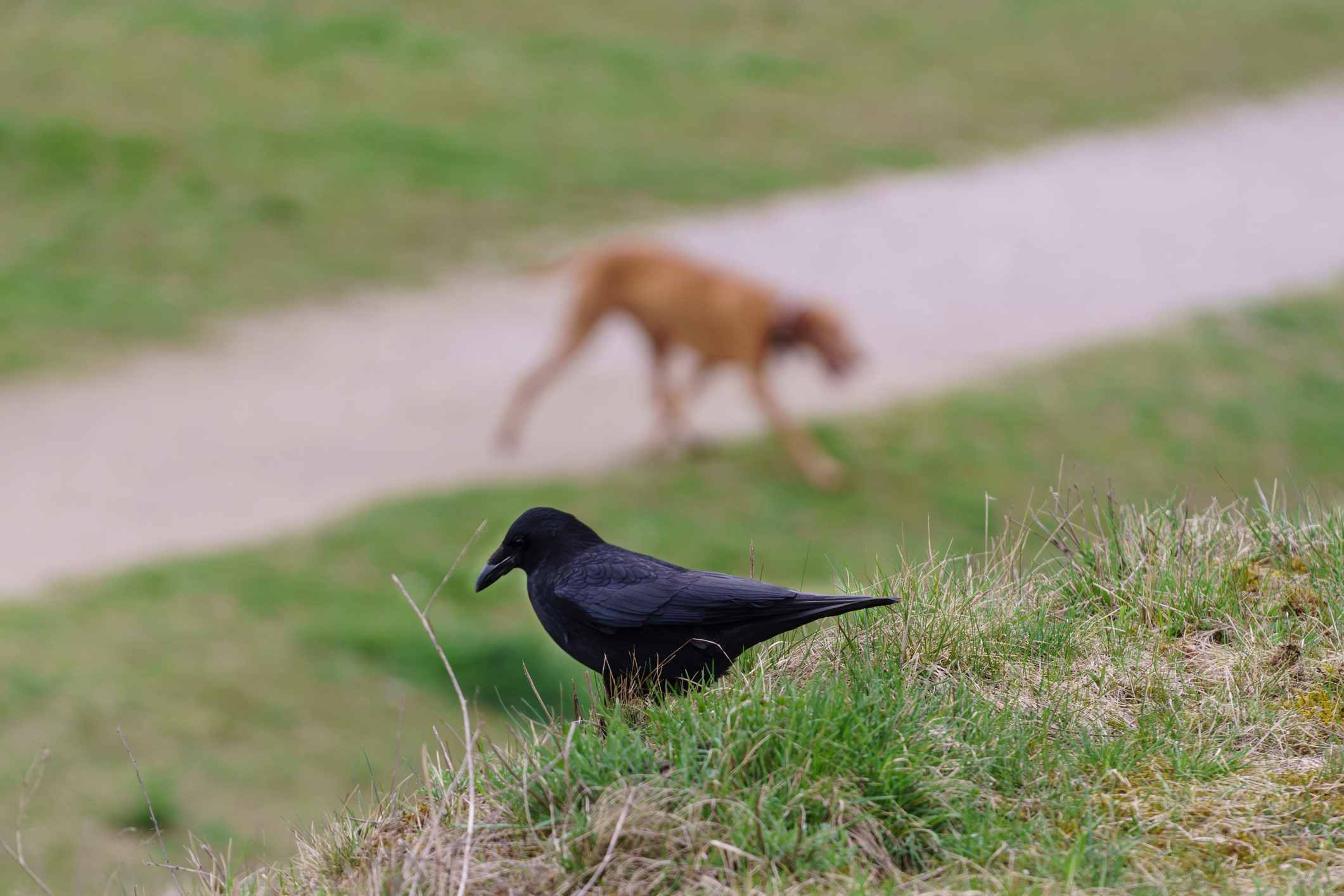 crow overlooking a dog