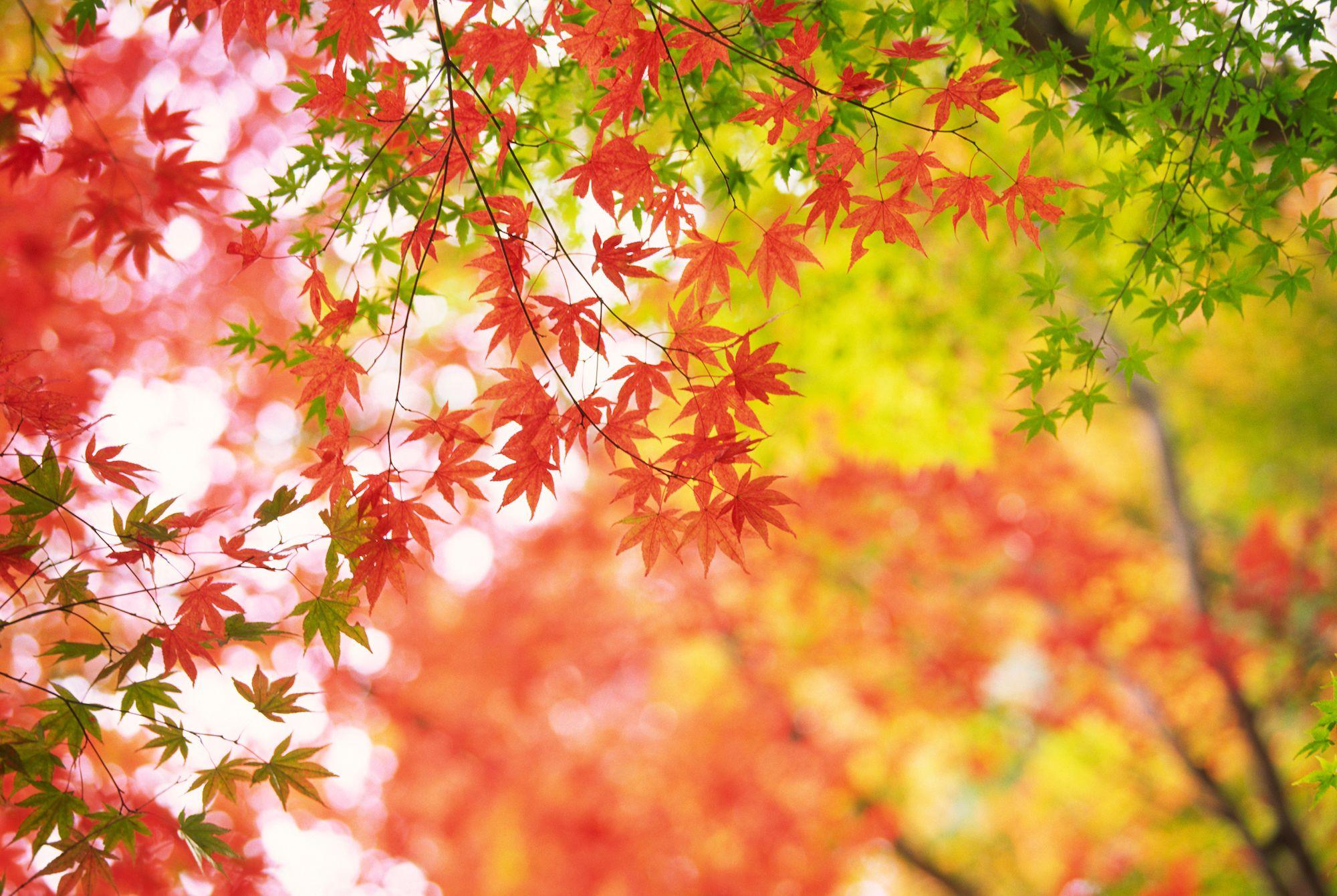 Perchè Acero Rosso Diventa Verde aceri giapponesi possono crescere rami verdi al basale graft