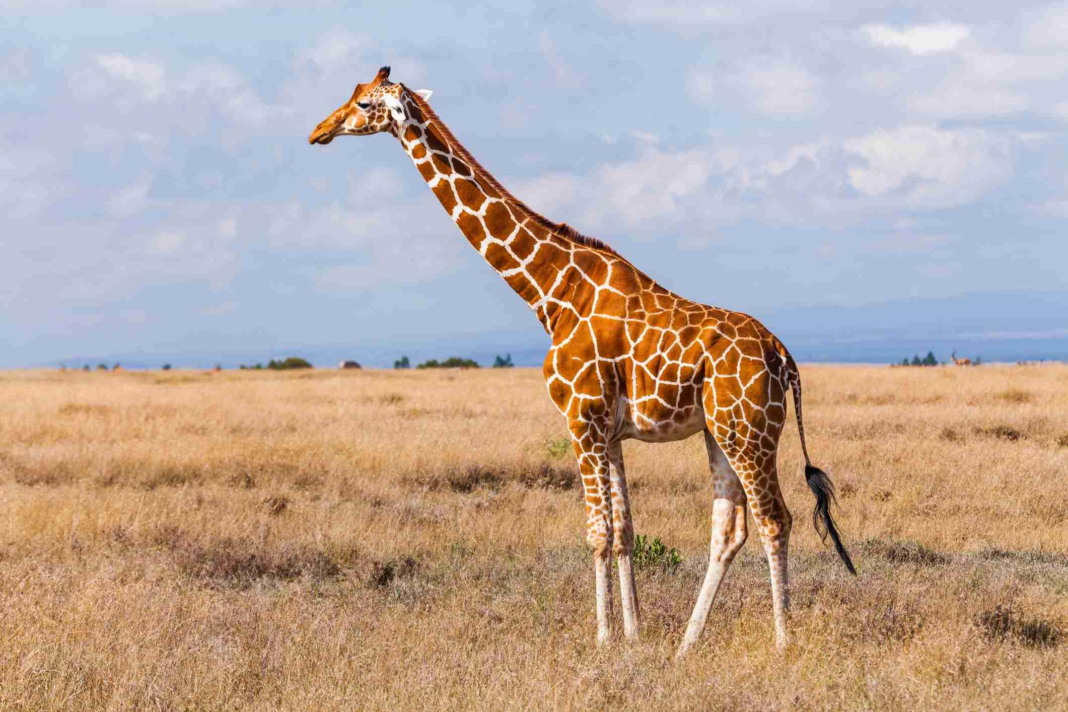hur många magar har en giraff