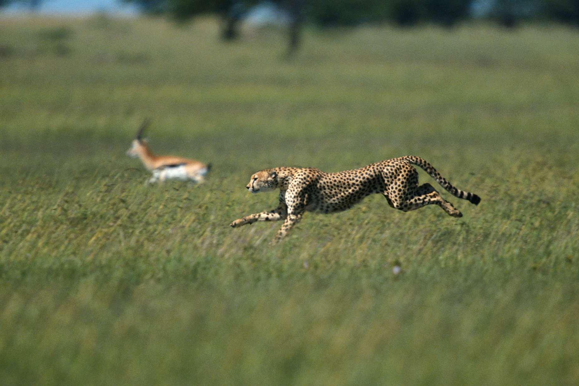 A cheetah chasing a gazelle