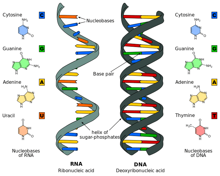 the differences between rna and dna