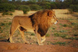 Lion in profile walking across the savanna.