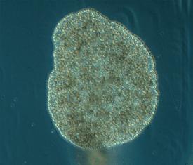 Closeup of a placozoan